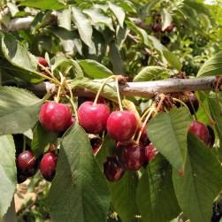 cherries on tree